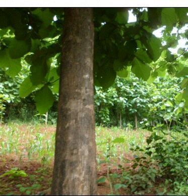 黄金柚木,学名非洲圆盘豆