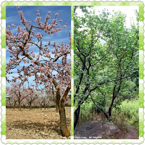 杏树嫁接步骤图片